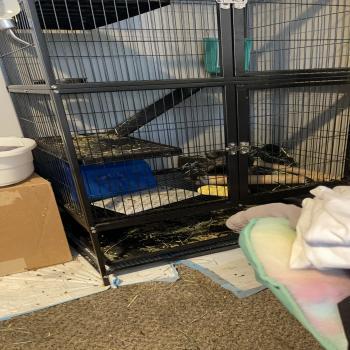 a chinchilla and the cage.