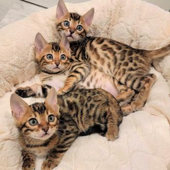 bengal kittens cat