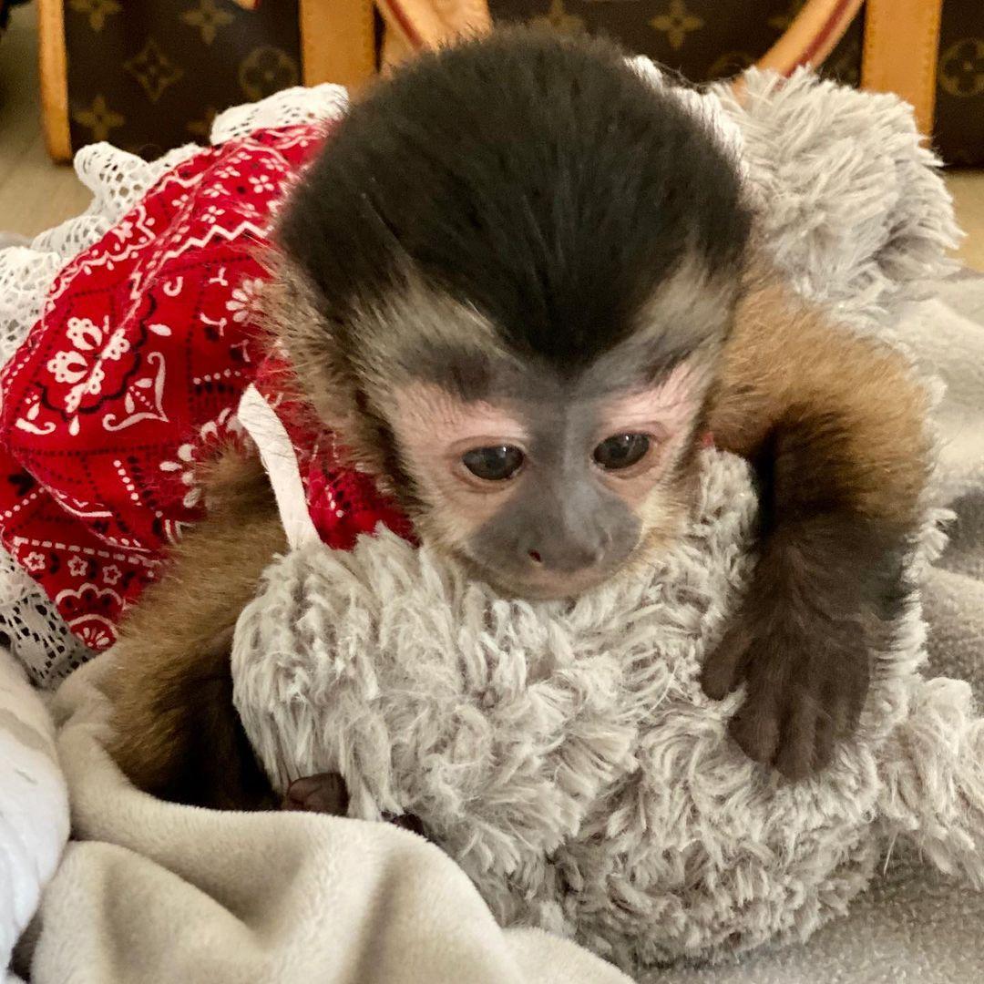 Capuchin monkeys for sale near me