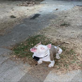 Pitbull Puppy with papers