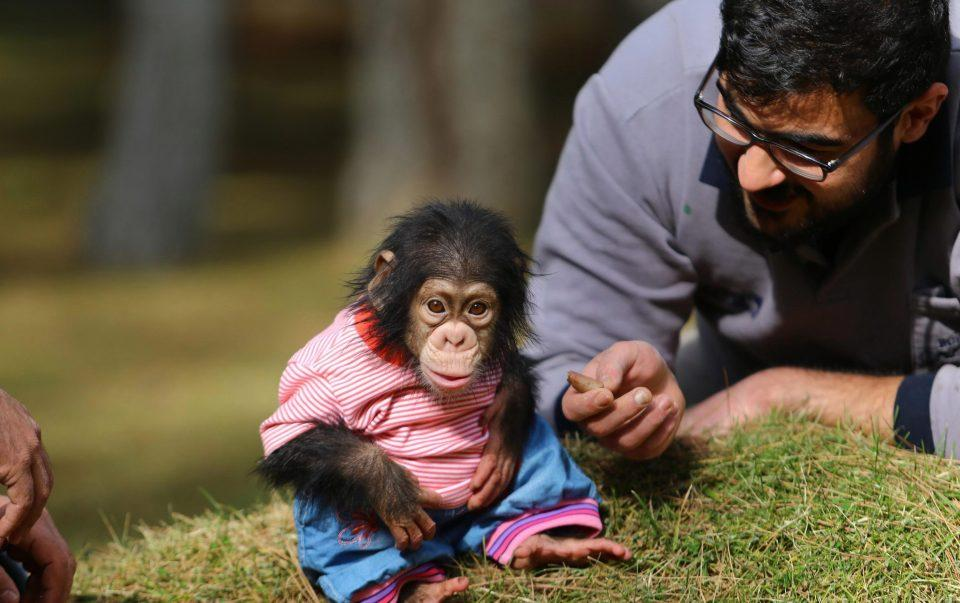 BABY CHIMP NEED A NEW HOME