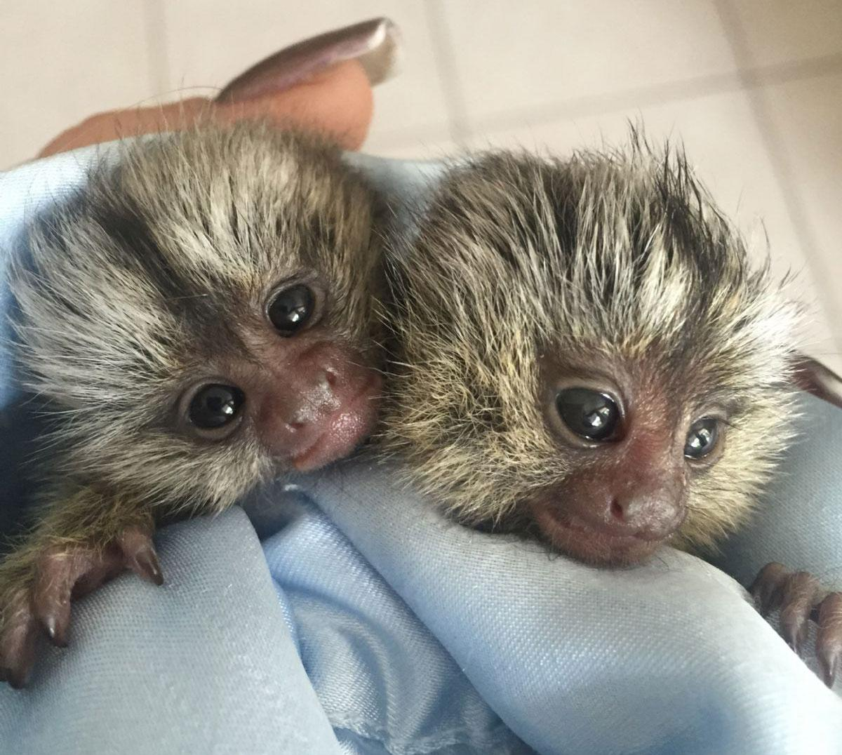 baby marmoset urgently needs a home
