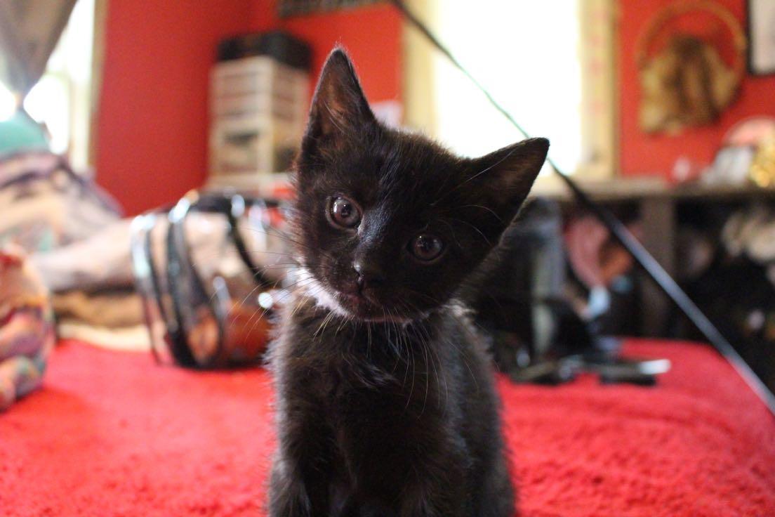 2 female black kittens