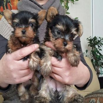 Sweet Yorkie pup for adoption