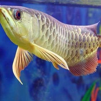 Healthy Arowana Fish