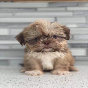 Shihtzu Tzu Puppy
