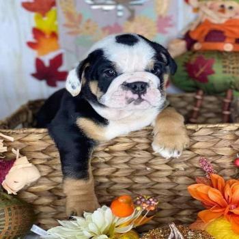 Black tri English Bulldog