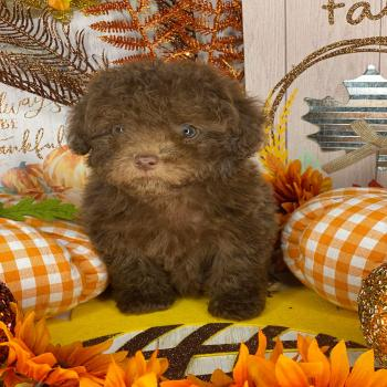chocolate malti poo puppy
